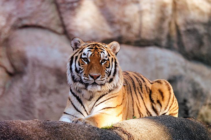 Tiger day July 2021